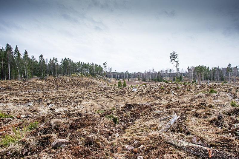 Hedlandets naturreservat förstörs av hyggen